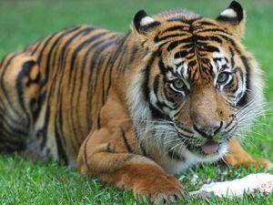 Australia Zoo's tiger pregnant