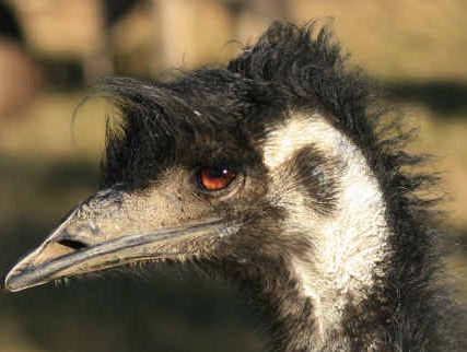 Sightings of the coastal emu in the Clarence Valley have become increasingly rare in recent years.