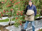 'No, she won't be apples': grower