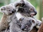 Residents encouraged to map koala sightings