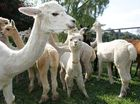 Police release CCTV footage of alpaca attackers