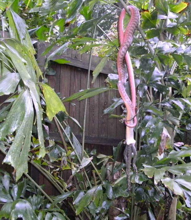 John the brown tree snake snacking on a lizard in a Terranora backyard.