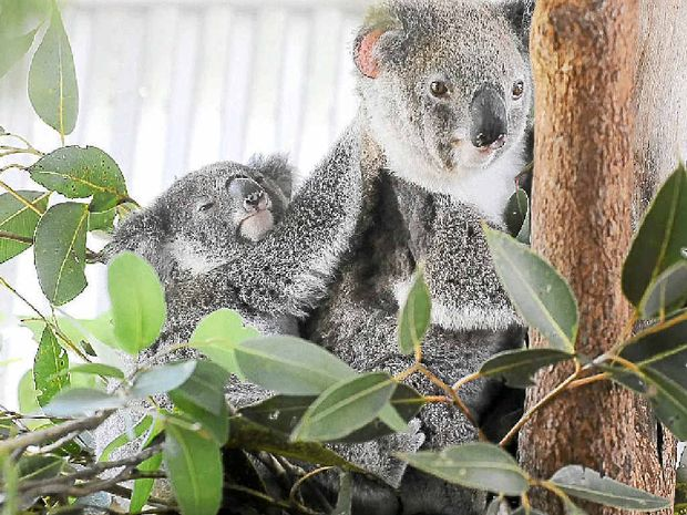 Sightings of koalas in and around Iluka have raised hopes the local population is finally recovering from habitat loss and road deaths.