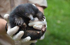 Piggiebillah the baby echidna.