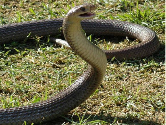 Snake bite cases have spiked on the Darling Downs.