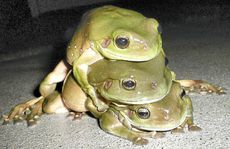 South Grafton's Bev Metcalf discovered this trio croaking lustily outside her back door.
