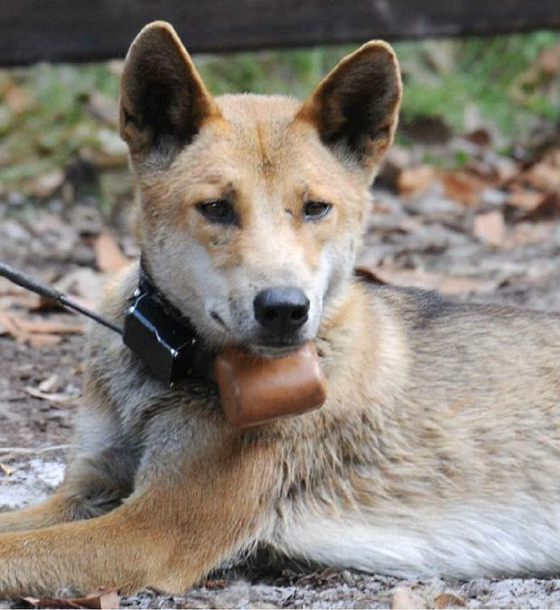 Documents reveal a dingo trapped on Fraser Island last year died a slow, painful death.