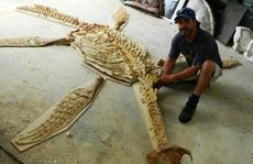 Natural Historical Artist Paul Stumkat with his cast of the Richmond pliosaur. Photo Candyce Braithwaite / Warwick Daily News