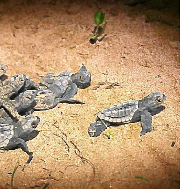 Baby turtles burst out of their nest at Mon Repos Conservation Park.