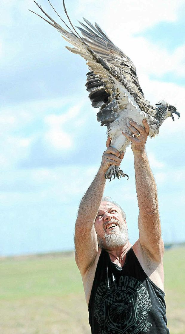 Wildlife carer Dave Derrett releases an osprey that had been injured when it got tangled in a fishing net near Burnett Heads.