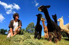 Jan Chant will open up her alpaca farm, near Murwillumbah, to the public.