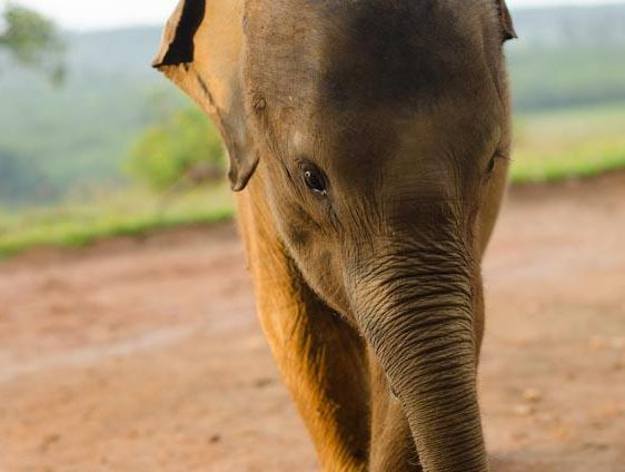 Bona, an orphaned two-year-old Sumatran Elephant.