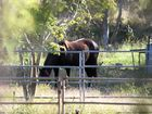 QUARANTINED: A horse on the hendra-affected property at Nerimbera.