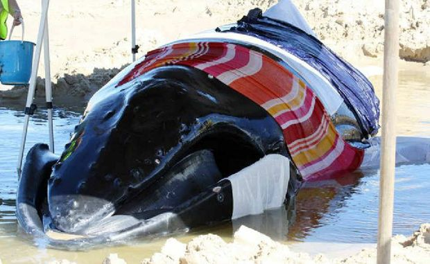 The juvenile humpback whale is covered in towels as rescuers try to keep it alive.