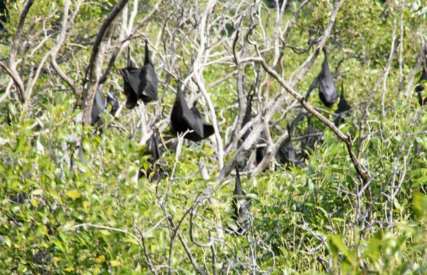 Flying foxes in Ross Creek in Yeppoon.
