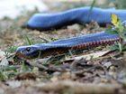 Snake pops in for stay at caravan park