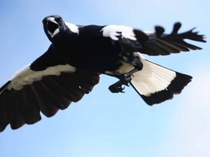 Magpie attacks prompt a warning sign