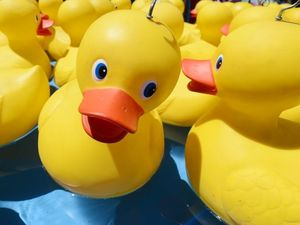2500 rubber ducks race for glory – and plenty of cash