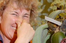 Mackay Orchid House curator Sue McCormack tries to evade the smell of the flowering tongue orchid.