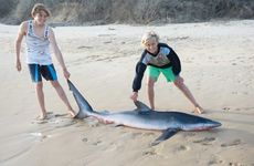 The small shark that washed up on Emerald's Shelly Beach at the weekend.