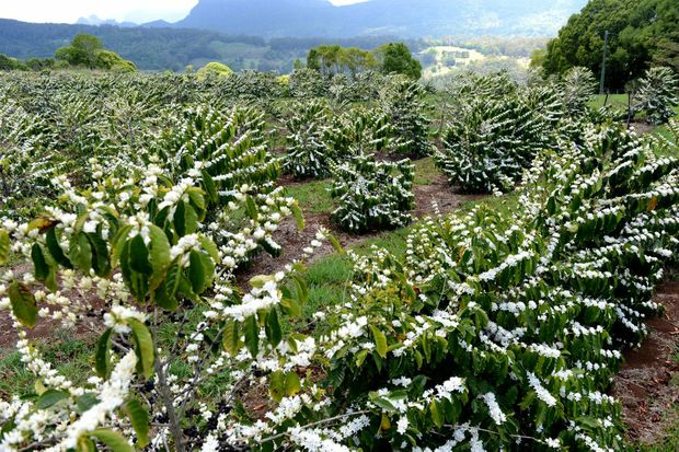 The white flowers falling on coffee trees at Carool.