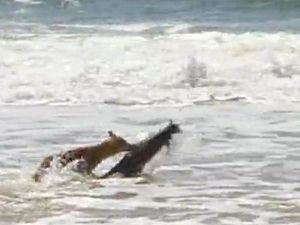 Caught on video: Fraser Island dingo attacks wallaby in surf