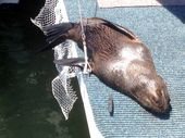 A CHILLED out New Zealand fur seal has spent the past two days living on a houseboat at Rainbow Beach.