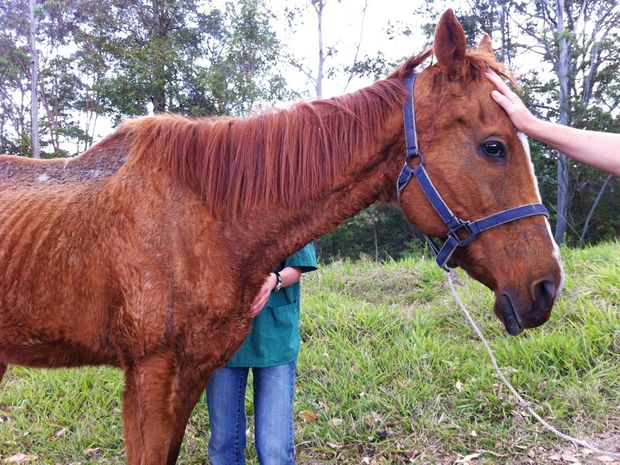 East Coast Horse Rescue and Animal Rights and Rescue Group discovered two abandoned and neglected mares on a Nimbin property in October. One of the horses had to be put down by a Lismore vet.