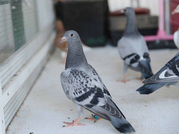 Young racing pigeons at Gympie Southside are likely to be immunised after the lifting of disease rules.