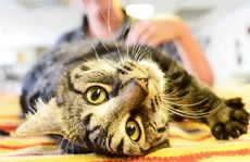 SOMEBODY TO LOVE: Adult moggies, excluding exotics, at AWLQ are $49 until December 31.