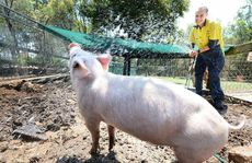 HOSE DOWN: Ipswich Nature Centre Queens Park employee Nicole Richards cools down Betsy the piglet.