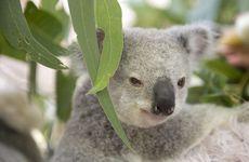 Changes to Steve Irwin Way could threaten 75 hectares of prime koala habitat.