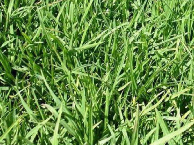 GRAZING GRASS: Young leafy kikuyu nearly ready to graze.