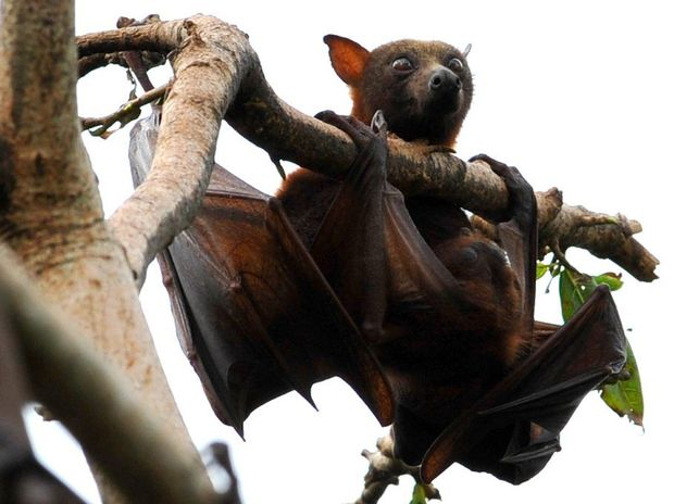 Queensland Health warns of the dangers of touching dead bats.