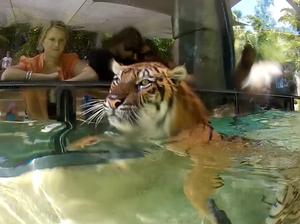 Sumatran tigers swim