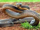 Brown snake kills puppy in suburban Toowoomba