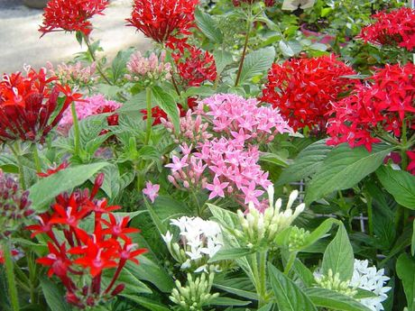 Pentas has dozens of small star shaped flowers.