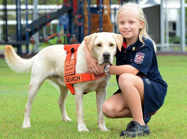 TWO OF A KIND: Springfield Central State School Year 2 student Bailey Brooke with Aka the Biosecurity Queensland labrador.