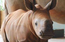 Australia Zoo baby rhino Mango.