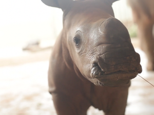 Meet Mango the baby rhino - the newest resident of Australia Zoo