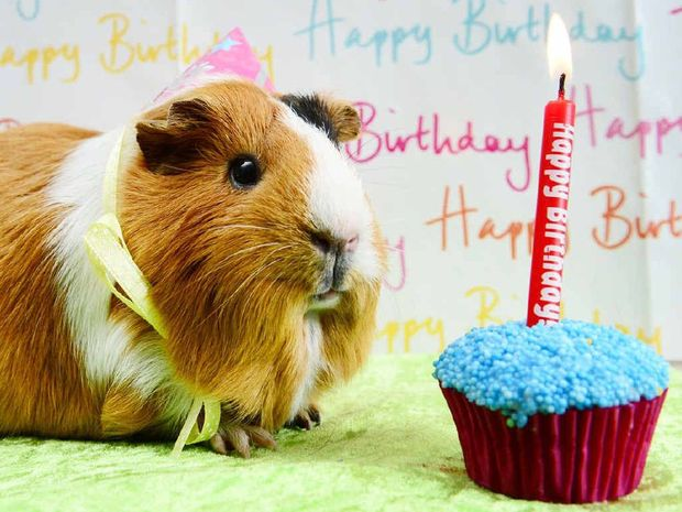 guinea pigs prepare to celebrate with party queensland times