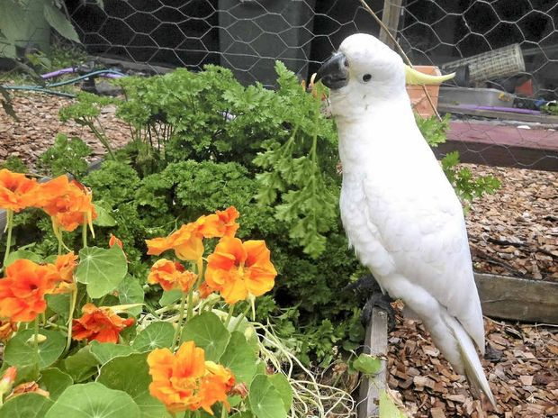 RECOVERING AGAIN: Dusty the cockatoo is back in care after being shot.