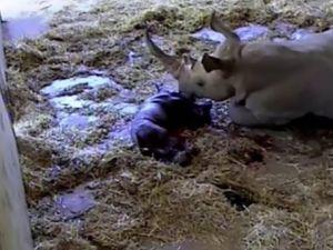 Baby rhino being born at Australia Zoo