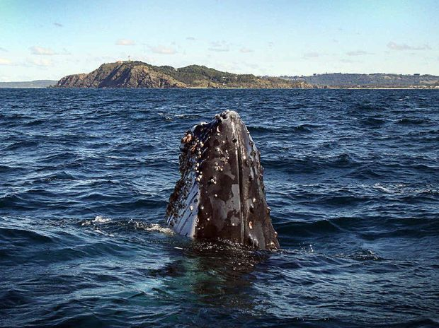 CLOSE ENCOUNTER: A humpback comes up for a closer look off Byron Bay last week.