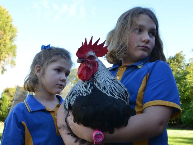 Kumbia's Alyssa and Cailtyn Reynolds almost lost one of their favourite pet roosters to a vicious hawk.