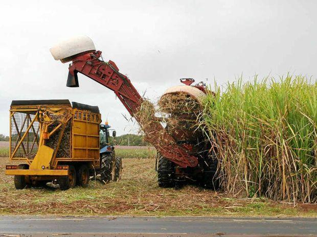 Sugarcane harvesting.