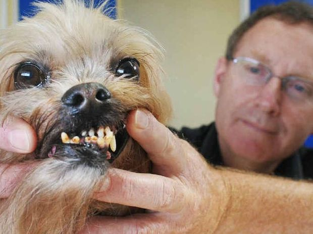 Silkstone Veterinary Hospital director Tony Snell checks the condition of Finn's teeth.