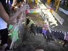 Norah Gilmore from Gilmore Family Entertainment ran the pig racing and animal farm at the Gladstone Show.