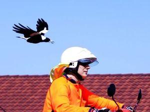Mackay magpie attacks