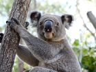 Rockhampton Zoo's newest member Lleyton the koala. Photo Allan Reinikka / The Morning Bulletin